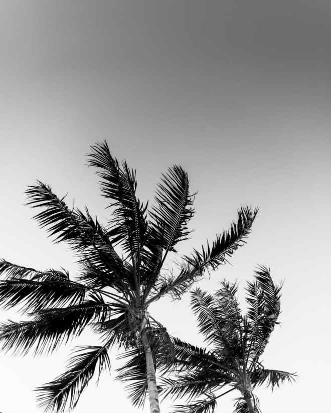 monochrome photo of palm trees